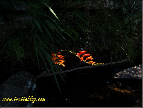 Fire lillies